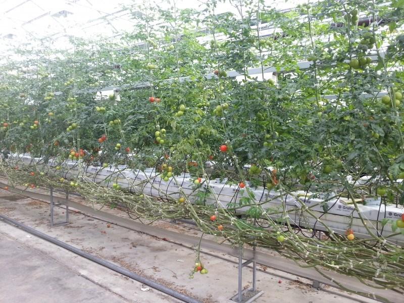 Tytölle saatiin matkaan tomaatti, jonka se ahmi kokonaisena jo automatkalla. Voi sitä sotkun määrää...