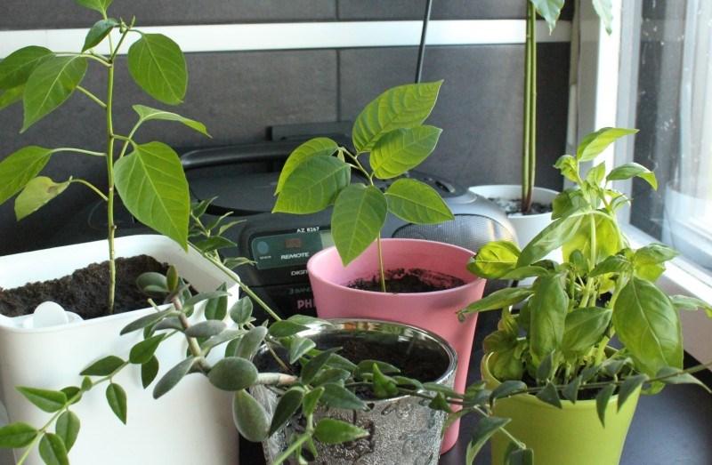 Chiliä, basilikaa, annoona ja samassa ruukussa (hopea) posliinikukka ja rahapuu.