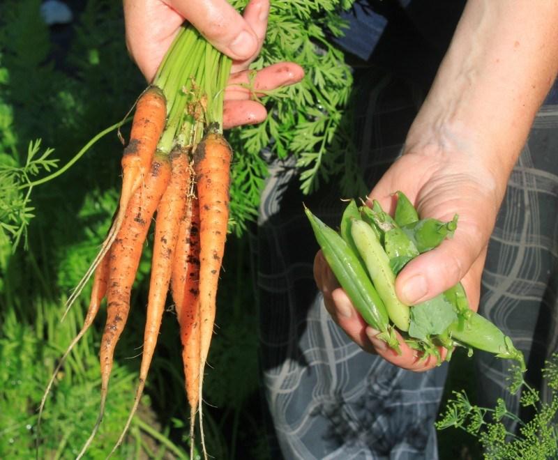 Samoin porkkanoita ja herneitä.
