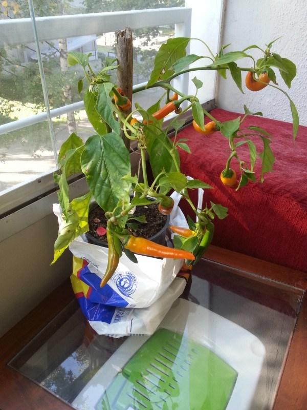 Anoppi toi mökiltä mun chilin talveksi sisälle.