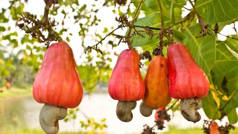 Cashew-omena. Kuva.
