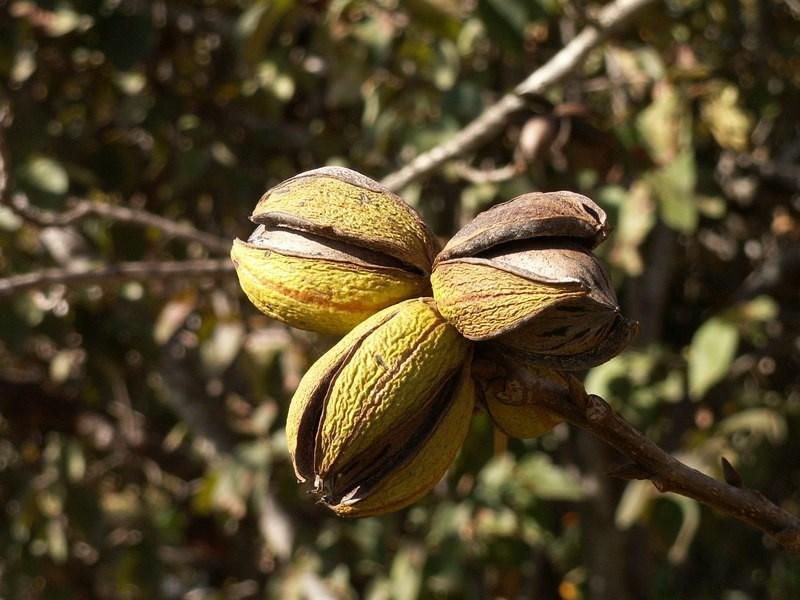 Pekaanipuun hedelmä. Kuva.